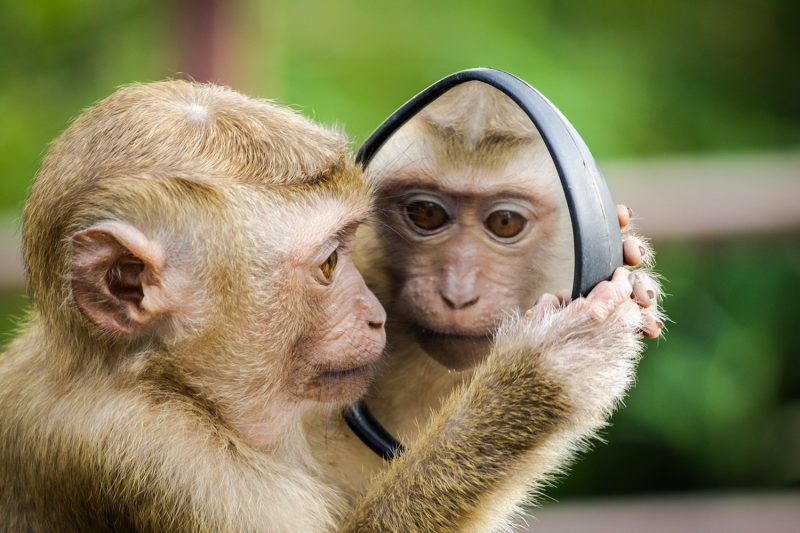 monkey looking in the mirror